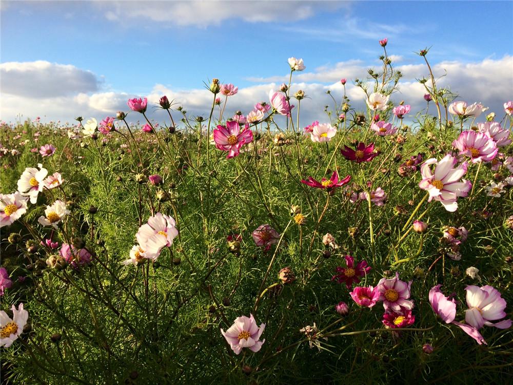 Dasiphora Flowers